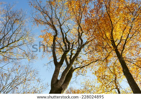 Looking up at the sunlight in a Beech Tree Forest in Autumn time.North Poland. / Tree canopy in autumn - stock photo