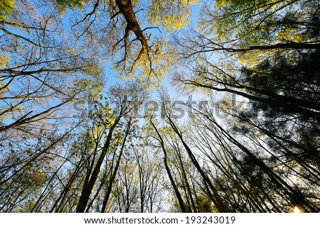 Looking up at tree top in New England forest. Yellow flowers and first leaves of oak and aspen trees against clear blue sky. - stock photo