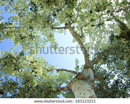 Looking up between silver poplars in Spain  - stock photo