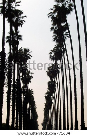 Looking up between two rows of tall palm trees, into a smoggy sky in Southern California - stock photo