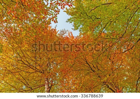 Looking up in a beech tree forest in autumn - stock photo