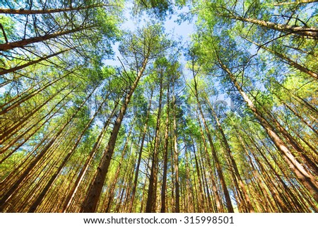 Looking up in pine forest tree to canopy. Bottom view wide angle background - stock photo