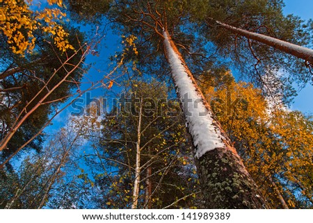 Looking up in the forest, with beutiful blue sky and snow on tree trunk in autumn (Finland) - stock photo