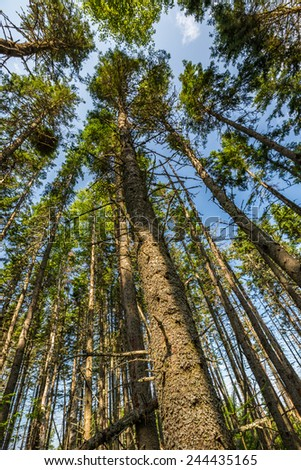 Looking up in the Haunted Forest in Prince Edward Island National Park, Canada.  Made famous by L. M. Montgomery's book 'Anne of Green Gables'. - stock photo
