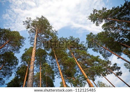Looking up in the pine tree forest - stock photo