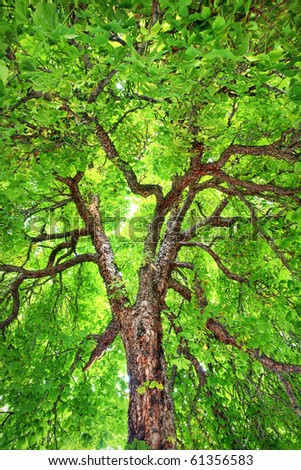 Looking up into a stately, old, Horse-chestnut tree - stock photo