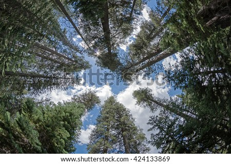 looking up into the treetops of a pine forest in Yosemite National Park California