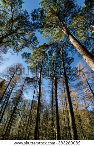 Looking up sunlight hitting tree canopies with clear blue sky. Location: Derwentwater, Keswick, Lake District, UK. - stock photo