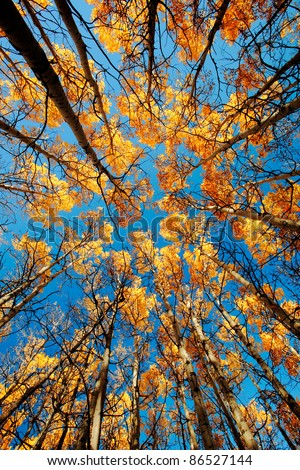 Looking up through a grove of tall aspen trees outside of Babb, Montana. - stock photo