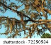 Looking up through the branches of a live oak with Spanish Moss draping down. - stock photo
