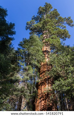 looking up to a giant sequoia tree in the Sequoia National Park in California