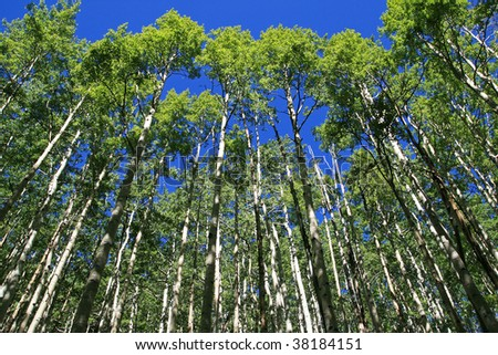 looking up towards the top of an aspen grove in the spring with fresh green leaves - stock photo