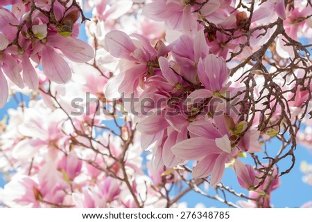 Looking up under the canopy of a magnolia tree. - stock photo