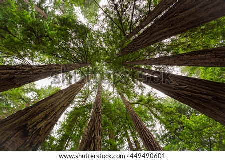 Looking upwards in giant sequoia forest in California, USA - stock photo