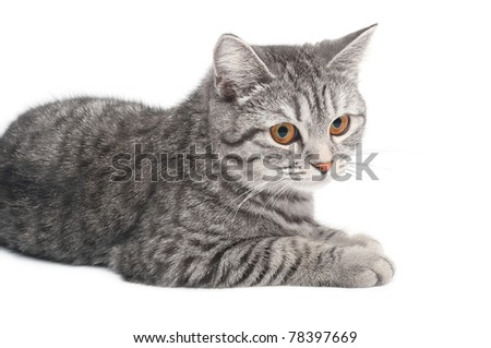 Looking young funny grey cat, isolated on white