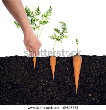 Looks can be deceptive.  Carrots in the ground. - stock photo