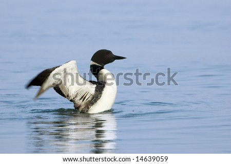 Loon Drying its Wings on a Minnesota Lake - stock photo