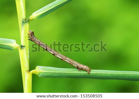 looping catterpillar or loopers is staying on the tree leaf - stock photo