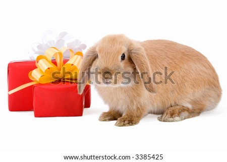lop bunny before two red gift box with silver and gold stars, isolated on white background - stock photo