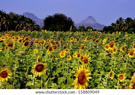 Lop Buri, Thailand:  Golden-yellow Sunflowers are a major crop in Lop Buri province where they grow in vast fields in the shadow of distant mountains