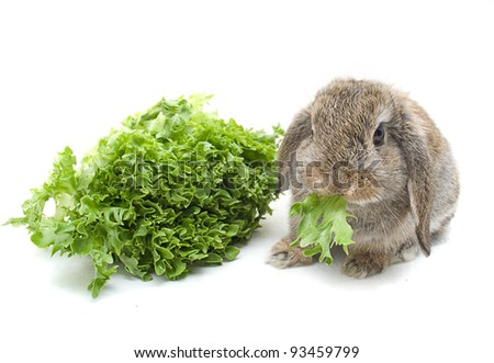 Lop eared rabbit eating lettuce - stock photo