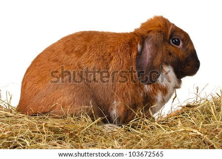 Lop-eared rabbit in a haystack on white background - stock photo