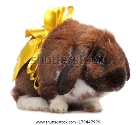 Lop-eared rabbit with yellow bow isolated on white - stock photo