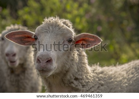 Lop-eared sheep