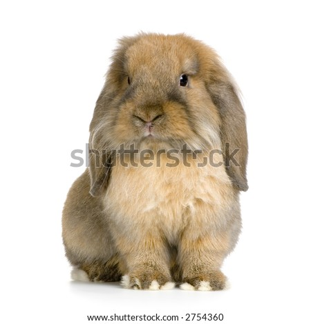 Lop Rabbit in front of a white background - stock photo