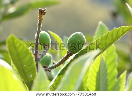 Loquat - stock photo