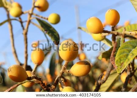 Loquat fruits - stock photo