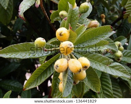 Loquat growing wild in Bermuda - stock photo