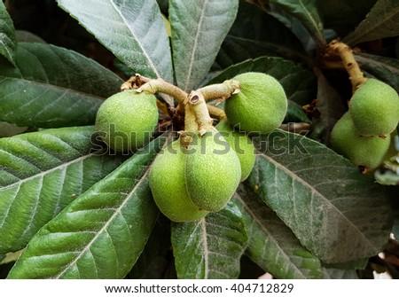 Loquat Tree - stock photo