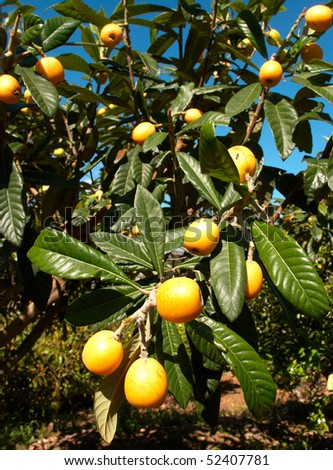Loquat tree loaded with ripe fruit to pick - stock photo