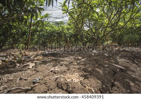 Loquat tree plantation - stock photo