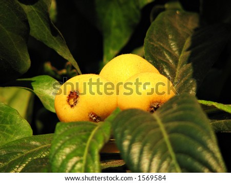 Loquats on the Tree - close-up view - stock photo
