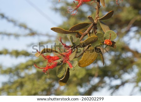 Loranthus acaciae, parasitic desert plant having beautiful red flowers, sunset time - stock photo