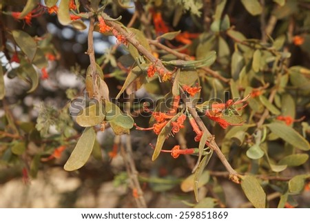 Loranthus acaciae, red parasitic desert flowers, sunset time - stock photo