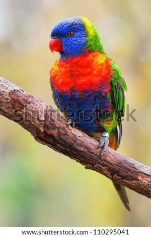 lori Lorikeet - stock photo