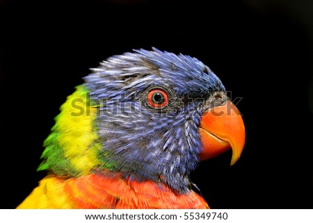 Lorikeet -Close up isolated profile, focus on eye with shallow depth of field - stock photo