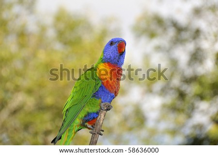 Lorikeet perched on branch