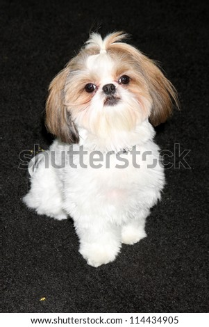 "LOS ANGELES - OCT 30:  Bonny the Shih Tzu  at the ""Seven Psychopaths"" Premiere at Bruin Theater on October 30, 2012 in Westwood, CA - stock photo"