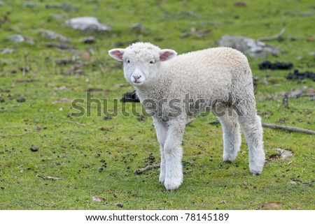 Lost and lonely lamb in paddock - stock photo