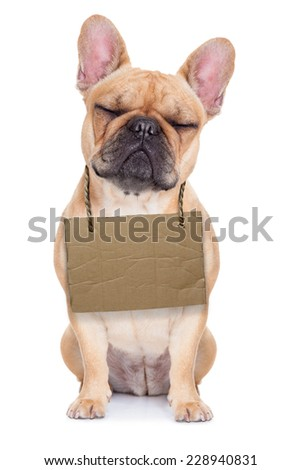 lost,homeless french bulldog with cardboard hanging around neck, isolated on white background, eyes closed and looking very sad - stock photo
