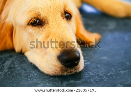 Lost Homeless Hungry Golden Labrador Retriever Dog Sleeping On Cold Floor - stock photo