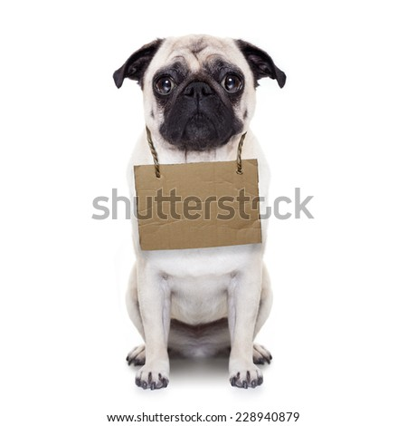 lost,homeless pug dog with cardboard hanging around neck, isolated on white background - stock photo
