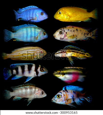 Lot of aquarium fishes from cichlidae family.  - stock photo