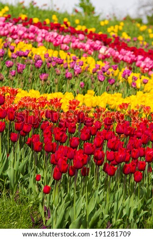 Lot of color tulips in a garden - stock photo