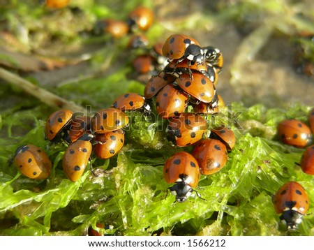 lot of ladybirds - stock photo