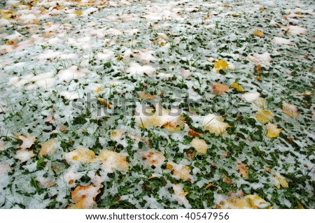 lot of maple leaves under the fresh snow - stock photo
